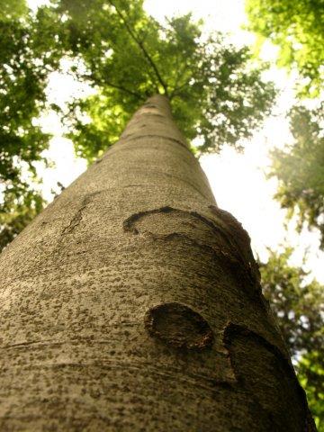 Baum Buche